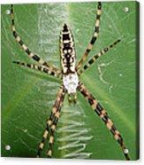 Black And Yellow Garden Spider Acrylic Print