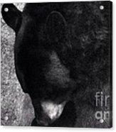 Black Bear Curtsy  Acrylic Print