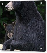 Black Bear With Cub Acrylic Print