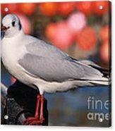 Black-headed Gull Acrylic Print