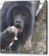 Black Howler Monkey Acrylic Print