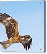 Black Kite In Flight Acrylic Print