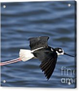 Black-necked Stilt Acrylic Print
