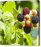 Black Raspberries 2 Acrylic Print