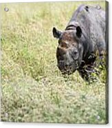Black Rhinoceros Diceros Bicornis Michaeli In Captivity Acrylic Print