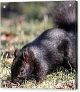 Black Squirrel Acrylic Print