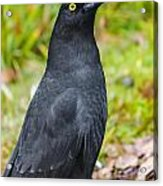 Black Tasmanian Crow Standing In Green Forest Acrylic Print