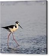 Blacknecked Stilt Acrylic Print