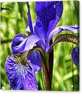 Blood Iris Acrylic Print