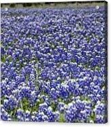 Blue Bonnet Carpet V7 Acrylic Print