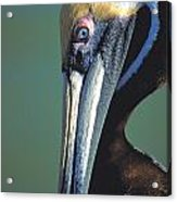 Blue-eyed Pelican Acrylic Print