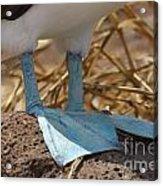 Blue Footed Boobie Galapagos Acrylic Print