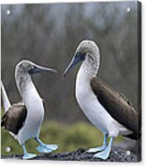 Blue-footed Boobies Courting Galapagos Acrylic Print