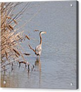Blue Heron In The Wild Acrylic Print