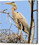 Blue Heron Rookery 7231 Acrylic Print