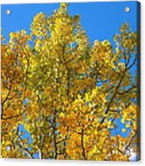 Blue Skies And Golden Aspen Trees Acrylic Print