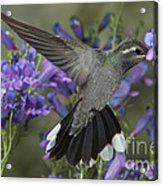 Blue-throated Hummingbird Acrylic Print
