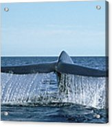 Blue Whale Tail Sea Of Cortez Acrylic Print