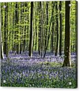 Bluebell Forest Acrylic Print