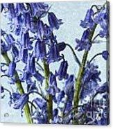 Bluebells 2 Acrylic Print