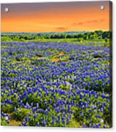 Bluebonnet Sunset  Acrylic Print