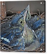 Bluejay Chicks Acrylic Print