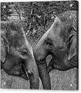 Blushing Elephants Acrylic Print