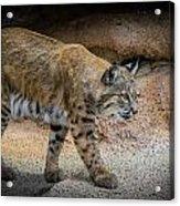 Bobcat Acrylic Print by Elaine Malott
