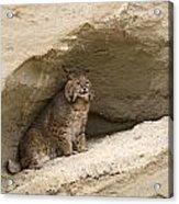 Bobcat  Felis Rufus Acrylic Print by Carol Gregory