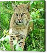 Bobcat Lynk Sitting In Grass Close-up Acrylic Print by Sylvie Bouchard