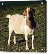Boer Goat  Acrylic Print