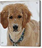 Bongo In The Snow Acrylic Print