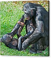 Bonobo Adult And Baby Acrylic Print