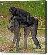 Bonobos Acrylic Print
