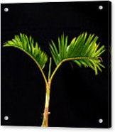 Bonsai Palm Tree Acrylic Print