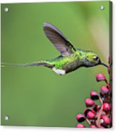 Booted Racket-tail Acrylic Print