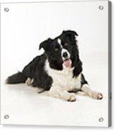 Border Collie Dog Acrylic Print