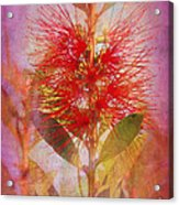 Bottlebrush Acrylic Print