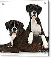 Boxer Pups Acrylic Print by Mark Taylor