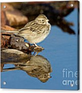 Brewers Sparrow At Waterhole Acrylic Print
