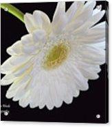 Bright White Gerber Daisy # 2 Acrylic Print