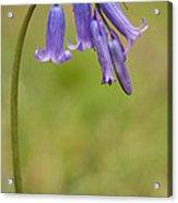 British Bluebell Hyacinthoides Non Scripta Acrylic Print