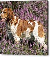 Brittany Spaniel Or Epagneul Breton Acrylic Print