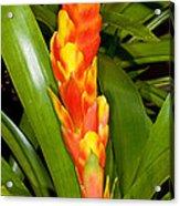 Bromeliad Flower Acrylic Print