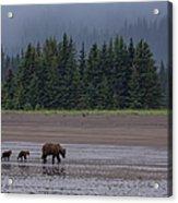 Brown Bear In Lake Clark National Park Acrylic Print