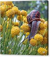Brown Garden Snail Acrylic Print by Walter Klockers