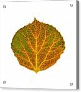 Brown Green Orange And Yellow Aspen Leaf 1 Acrylic Print