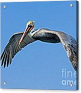 Brown Pelican In Flight Acrylic Print