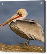 Brown Pelican Portrait California Acrylic Print