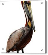 Brown Pelican-7 Acrylic Print